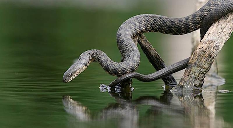 Когда во сне вы видите змею в воде – это означает, что вы впадете в глубокую меланхолию