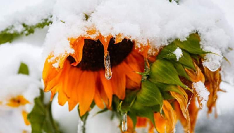 подсолнух под снегом