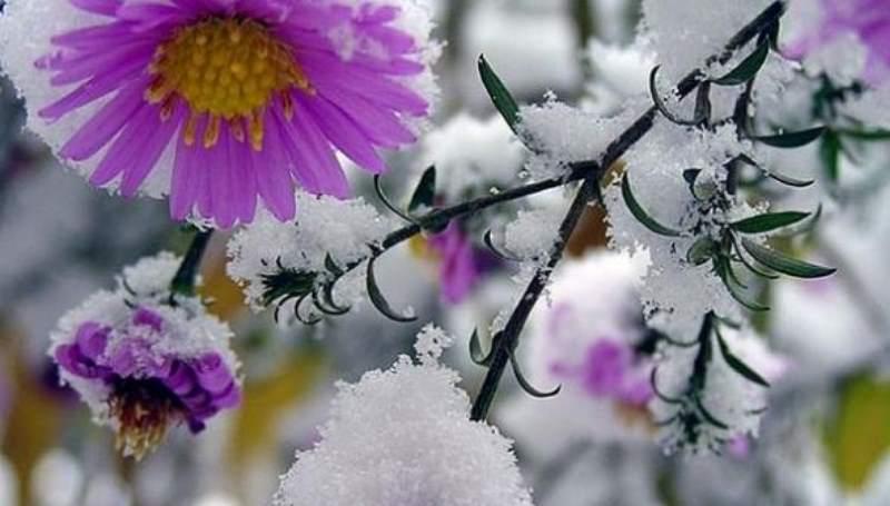 цветок под снегом