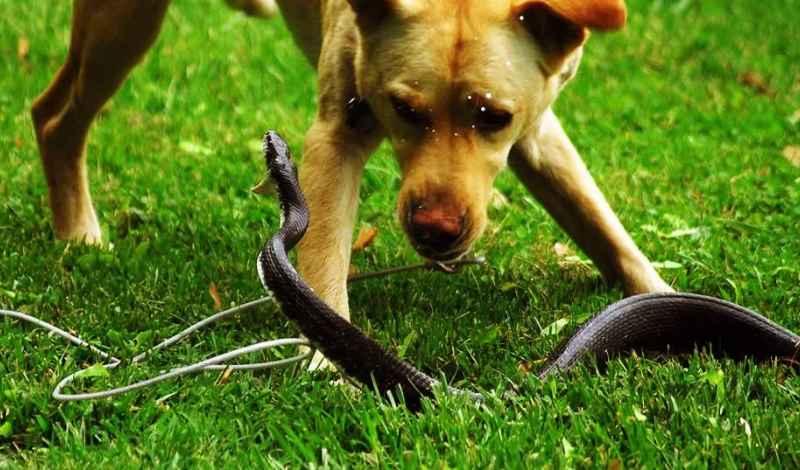 змея с собакой